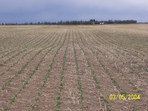 Field peas on May 3, 2004